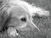 Golden Retriever Dog In The Cool Grass Monochrome Print by Jennie Marie Schell