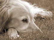 Sporting Dogs Framed Prints - Golden Retriever Dog in the Cool Grass Sepia Framed Print by Jennie Marie Schell