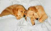 Sleeping Puppies Posters - Golden Retriever Dog Puppies Sleeping Poster by Jennie Marie Schell