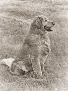 Golden Retrievers Photos - Golden Retriever Dog Sepia by Jennie Marie Schell