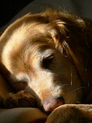 Dark Brown Framed Prints - Golden Retriever Dog Sleeping in the Morning Light  Framed Print by Jennie Marie Schell