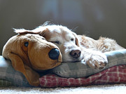 Sleeping Dog Art - Golden Retriever Dog Sleeping with my Friend by Jennie Marie Schell