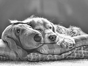 Comical Prints - Golden Retriever Dog Sleeping with my Friend Monochrome Print by Jennie Marie Schell