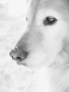 Sporting Dogs Framed Prints - Golden Retriever Dog Snowflakes on my Nose Monochrome Framed Print by Jennie Marie Schell