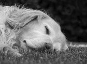 Sleeping Black Dog Posters - Golden Retriever Dog Sweet Dreams Black and White Poster by Jennie Marie Schell
