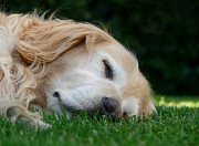 Sleeping Dog Art - Golden Retriever Dog Sweet Dreams by Jennie Marie Schell