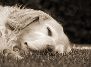 Golden Retrievers Photos - Golden Retriever Dog Sweet Dreams Sepia by Jennie Marie Schell