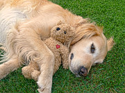 Golden Retrievers Photos - Golden Retriever Dog Teddy Bear Love by Jennie Marie Schell