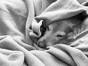 Sleeping Animals Prints - Golden Retriever Dog Under the Blanket Print by Jennie Marie Schell