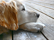 Golden Retrievers Photos - Golden Retriever Dog Waiting by Jennie Marie Schell