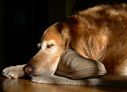 Animals Sleeping Posters - Golden Retriever Dog with Masters Slipper Poster by Jennie Marie Schell