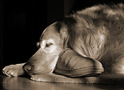 Golden Brown Posters - Golden Retriever Dog with Masters Slipper Sepia Poster by Jennie Marie Schell