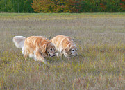 Golden Brown Prints - Golden Retriever Dogs on the Hunt Print by Jennie Marie Schell