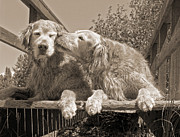 Funny Dogs Posters - Golden Retriever Dogs the Kiss Sepia Poster by Jennie Marie Schell