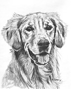 Duck Hunting Drawings - Golden Retriever Head and Shoulders by Kate Sumners