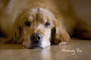 Golden Retrievers Photos - Golden Retriever Missing You by James Bo Insogna