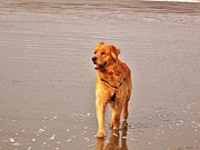 Golden Retriever On Beach Print by Roxanne Luckman