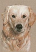 Dog Print Pastels Framed Prints - Golden Retriever Portrait Framed Print by Nicole Zeug