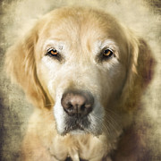 Retriever Posters - Golden Retriever Portrait Poster by Wolf Shadow  Photography