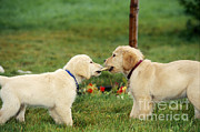 Alan Carey - Golden Retriever Puppies Tugging On Bone