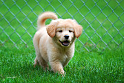 Friendly Digital Art - Golden Retriever Puppy by Christina Rollo
