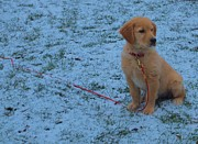 Love The Animal Posters - Golden Retriever Puppy In The Snow Poster by Dan Sproul