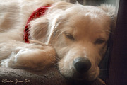 All - Golden Retriever Puppy Sleeping by Darlene Bell
