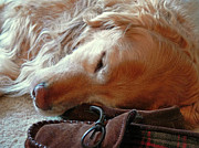 Sleeping Dog Posters - Golden Retriever Sleeping with Dads Slippers Poster by Jennie Marie Schell
