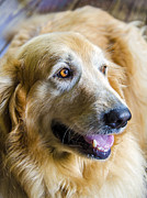 Golden Retriever Smile Print by Carolyn Marshall