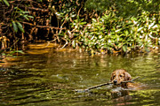 Dog With Stick Prints - Golden Retriever Swimming Print by Darlene Bell