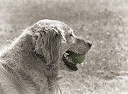 Golden Brown Prints - Golden Retriever with Ball Monochrome Print by Jennie Marie Schell