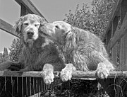 Humorous Prints - Golden Retrievers the Kiss Black and White Print by Jennie Marie Schell