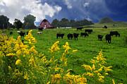 Randall Branham - Golden Rod Black Angus Cattle
