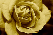Valuable Prints - Golden Rose Print by Melissa Gurdus