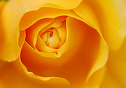 Soft Colour Framed Prints - Golden Rose Framed Print by Tim Gainey