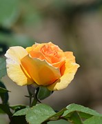 Yellow Rosebud Photos - Golden Rosebud by Maria Urso