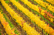 Sonoma County Vineyards. Prints - Golden Rows in Autumn Vineyard Print by Tirza Roring