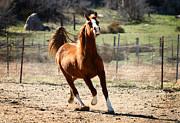 Running Horses Photos - Golden Runner by Anthony Jones
