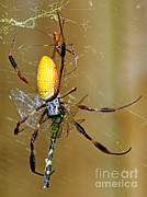 Orb Weaver Framed Prints - Golden Silk Spider With Dragonfly Prey Framed Print by Millard H. Sharp