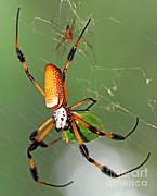 Millard H Sharp - Golden Silk Spider With Stinkbug Prey