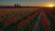Skagit Framed Prints - Golden Skagit Tulip Fields Framed Print by Mike Reid