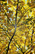 Autumn Leaf Photos - Golden Splendor by Heather Bridenstine