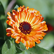 Strawflower Photos - Golden Strawflower by Suzanne Gaff