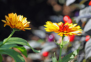 Strawflower Photos - Golden Strawflowers by Suzanne Gaff
