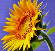 Sunflower Art - Golden Sunflower by Judy Palkimas