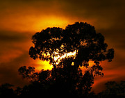 Eucalyptus Tree Prints - Golden Sunset... Print by Nina Stavlund
