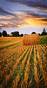 Bale Prints - Golden sunset over farm field in Ontario Print by Elena Elisseeva