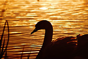 Catherine Davies - Golden swan