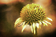 Cone Flower Prints - Golden Print by Sylvia Cook