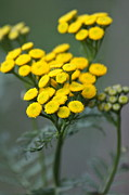 Gold Buttons Posters - Golden Tansy Poster by Karon Melillo DeVega